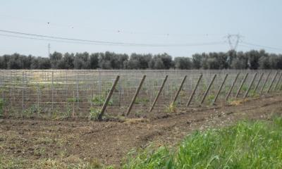 New Primitivo Vineyard at San Nicola